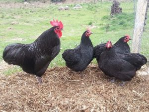 Australorp Chicken Images