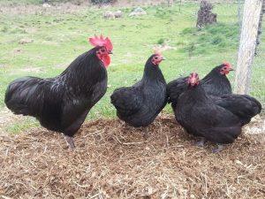 Australorp Chicken Images