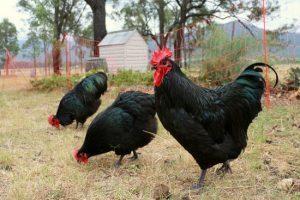 Australorp Chickens