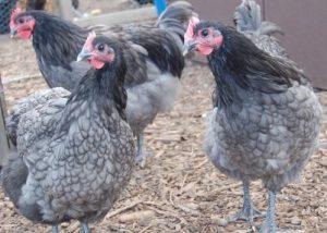 Blue Australorp Chickens