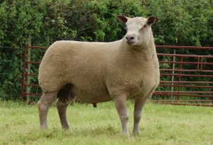 Charollais Sheep Images