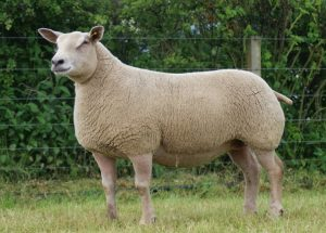 Charollais Sheep Pictures