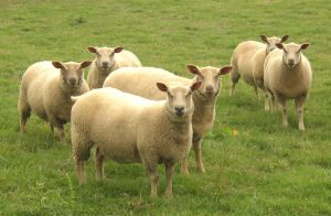Charollais Sheeps