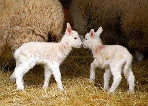 Cheviot Sheep Baby