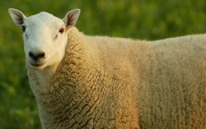 Cheviot Sheep Images