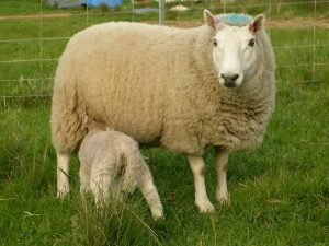 Cheviots Sheep