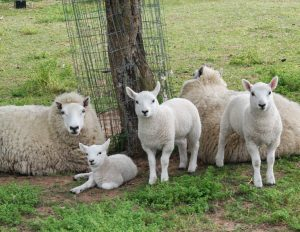 Miniature Cheviot Sheep