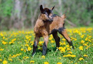 Oberhasli Goat Baby
