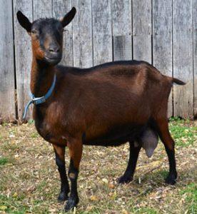 Oberhasli Goat Buck