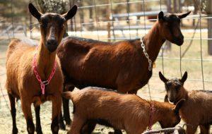 Oberhasli Goats Images